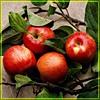 Яблоки красивые красные. Яблочный спас