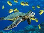 Морские черепашки