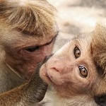 Гиф gif Две обезьяны рисунок