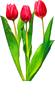 Тюльпаны красные, лист зеленый