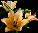 Бежевые лилии на ветке