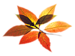 Разноцветная веточка осени