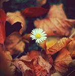 Ромашка пробилась сквозь осенние листья