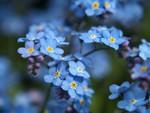 Весна - цветут незабудки