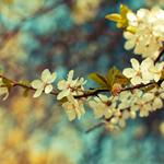 Ветка цветущего белыми цветами дерева