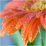 Смайлик Распустившийся оранжевый цветок герберы в каплях росы аватар