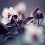 Гиф gif Цветки вишни рисунок