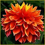 Оранжевый георгин