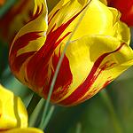 Смайлик Красно-жёлтый тюльпан аватар