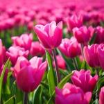 Гиф gif Поле тюльпанов ярких и свежих рисунок