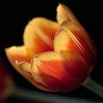 Гиф gif Нежный тюльпан на темном фоне рисунок