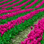 Смайлик Поле тюльпанов, посаженных прекрасными полосами аватар