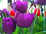 Тюльпаны для Галеньки
