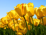 Желтые тюльпаны на фоне голубого неба
