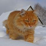 Картинка Рыжий кот идет по снегу (1) анимация