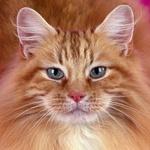 Гиф gif Морда рыжего кота рисунок