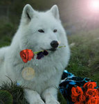 Гиф gif Волк с розой в зубах рисунок
