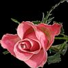 Картинка Розы цвет прекрасный ... анимация