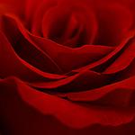 Гиф gif Лепестки красной розы рисунок