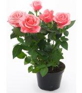Картинка Розовая роза анимация