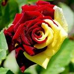 Гиф gif Красно-жёлтая роза рисунок