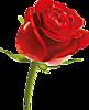 Красная роза еще не распустилась полностью