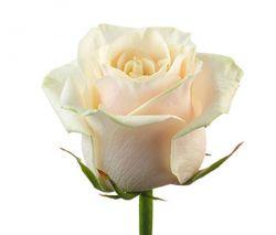 Прекрасная  кремовая роза