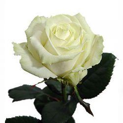 Прекрасная белая роза