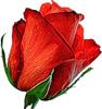 Бутон красной розы