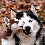 Гиф gif Собака сибирский хаски со щенком рисунок