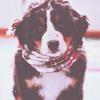 Смайлик Щенок бернского зенненхунда, в шарфе аватар
