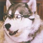 Гиф gif Собака сибирский хаски в очках рисунок