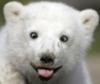 Белый медведь показывает язык