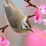 Птица-хохлатая синица на цветущем дереве