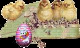 Цыплятки в книге