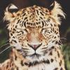 Гиф gif Леопард зажмурил глаза рисунок
