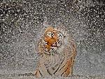 Картинка Тигр отряхивает свою шерсть от воды анимация