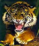Гиф gif Тигр недоволен рисунок